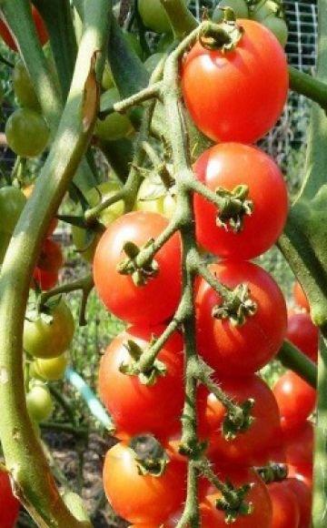 Descrierea soiului de roșii Pomisolka, caracteristicile și randamentul acesteia