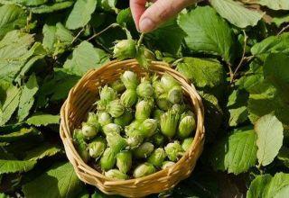 25 mejores variedades de avellanas con descripciones y características, tecnología de cultivo y cuidado