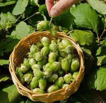 25 καλύτερες ποικιλίες φουντουκιών με περιγραφές και χαρακτηριστικά, τεχνολογία καλλιέργειας και φροντίδα
