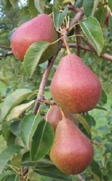 Características y descripción de la variedad de pera Yakovlevskaya, reglas de cultivo.