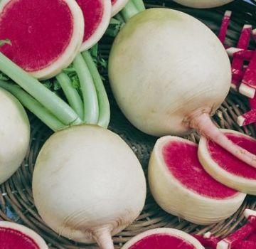 Beschreibung des Wassermelonenrettichs, nützliche Eigenschaften und Schäden