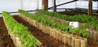 V akej vzdialenosti by sa mali pestovať paradajky v skleníku