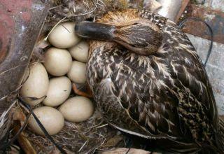 ¿Cuántos días eclosiona un pato salvaje y en qué nidos pone?