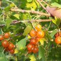 Descrierea soiurilor de coacăze de aur, plantare, creștere și îngrijire