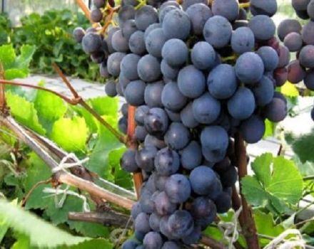 Az Agat Donskoy szőlő leírása és jellemzői, termesztése és gondozása