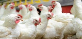 Περιγραφή της φυλής κοτόπουλων κοτόπουλου Cobb 500 και κανόνες για την καλλιέργεια στο σπίτι