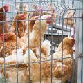 Cómo hacer jaulas para gallinas ponedoras con tus propias manos, tipos y tamaños.