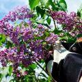 A helyszíni lila-túlnövekedés végleges megszabadulásának legjobb módszerei