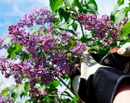 Los mejores métodos sobre cómo deshacerse permanentemente del crecimiento excesivo de lila en el sitio.