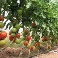 Plantar, cultivar y cuidar tomates en invernadero en casa.