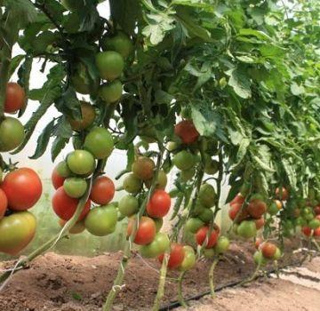 A paradicsom ültetése, termesztése és gondozása otthon üvegházban