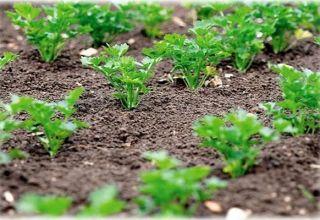 Când este mai bine să plantezi pătrunjelul în pământ deschis, astfel încât să încolțească repede, toamna sau primăvara