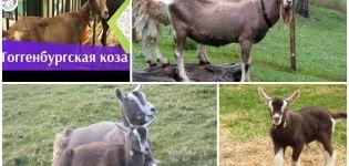 A Toggenburgi kecskék leírása és jellemzői, tartási szabályok