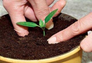 Cum poți să crești o prună de piatră acasă?