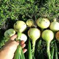 Cómo cuidar adecuadamente las cebollas en un verano lluvioso y cuándo desenterrarlas