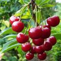 Opis a vlastnosti odrody čerešne Molodezhnaya, výsadba a starostlivosť, prerezávanie a opeľovače