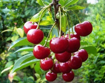 A Molodezhnaya cseresznyefajta leírása és jellemzői, ültetés és gondozás, metszés és beporzó