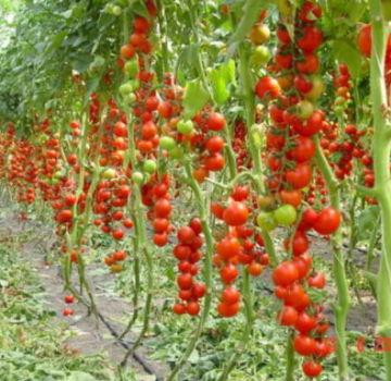 Caracteristicile și descrierea soiului de roșii Pungă de bani, randament