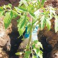 Cómo y cuándo plantar tomates para plántulas en casa.
