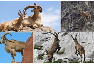 A hegyi kecskék fajtái és nevei, hogyan néznek ki és hol élnek