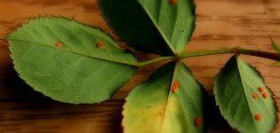 Cómo tratar rosas de óxido, remedios caseros y productos químicos.