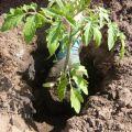 Kada će biti povoljni dani sadnje rajčice u ožujku 2020. godine