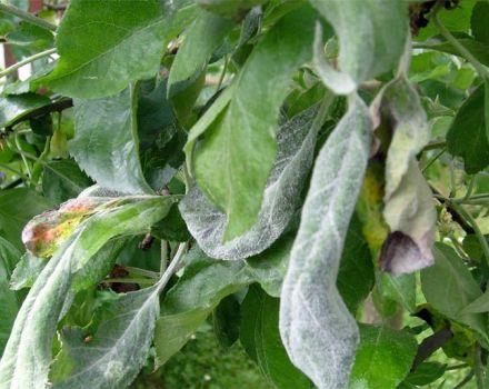 Motivele apariției mucegaiului pudră pe un pom, cum să lupți și ce să faci pentru tratament