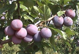 Descrierea și caracteristicile soiului de prune Zarechnaya timpurie, cultivare și îngrijire