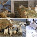 Cómo alimentar a una cabra en invierno además de heno, haciendo una dieta en casa.