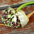 Wie pflanzt und züchtet man Knoblauch aus Zwiebeln?