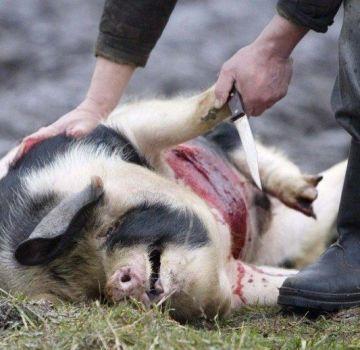 Cómo sacrificar un cerdo en casa, el proceso de sacrificio y consejos útiles.