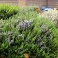 Cómo cultivar y cuidar adecuadamente el romero al aire libre en el carril central
