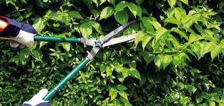 Hogyan kell helyesen megragadni a borbolya bokrokat nyáron, tavasszal és ősszel