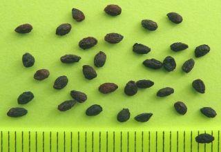 Cómo puedes cultivar grosellas a partir de semillas en casa.