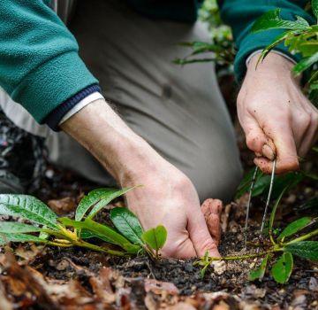 Kako pravilno razmnožavati rododendron kod kuće