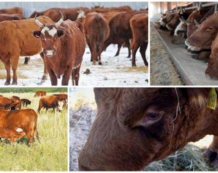 A Kalmyk fajtájú tehenek leírása és jellemzői, karbantartásuk szabályai
