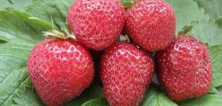 Descrierea și caracteristicile căpșunilor Lambada, plantare și îngrijire
