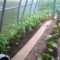 Est-il possible de planter des piments forts à côté des concombres