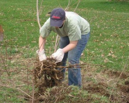 Los mejores métodos sobre cómo arrancar arbustos en el sitio en casa.