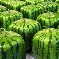 A négyszögletes görögdinnye saját kezű otthon történő termesztésének technológiája