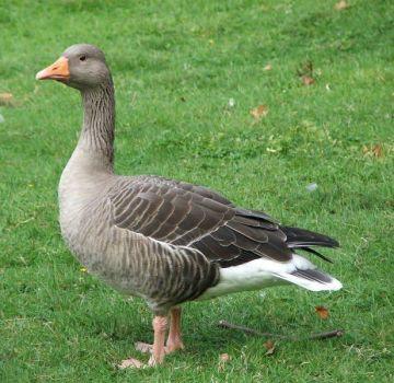 ¿Cuántos días crecen los patos hasta el matadero y una tabla de rendimiento de carne a partir del peso vivo?
