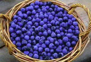 Descrierea soiului de prune Ternovka, selecția răsadurilor, plantarea și îngrijirea