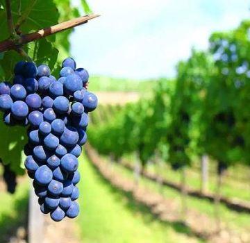 Beschrijving van wijndruivensoorten, die het beste is voor thuisgebruik