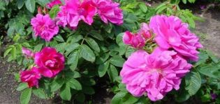 Descripción de las mejores variedades de rosas arrugadas, reproducción, plantación y cuidado.