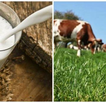 Što učiniti ako je krava izgubila mlijeko i koji je razlog, prevencija