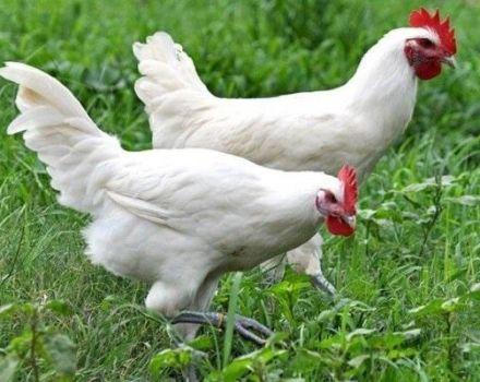 A Loman White White csirkék leírása és tartási szabályok