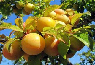 Descrierea tipurilor de soiuri de prune Renclodare, beneficii și dăune, randament și cultivare