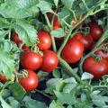 Descrierea soiului de roșii Ekaterina, randamentul și cultivarea acestuia