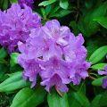 70 rododendronfaj és fajta leírással és jellemzőkkel