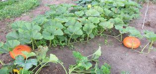 ¿Por qué caen las frutas de calabaza y los ovarios se vuelven amarillos en campo abierto en el jardín?